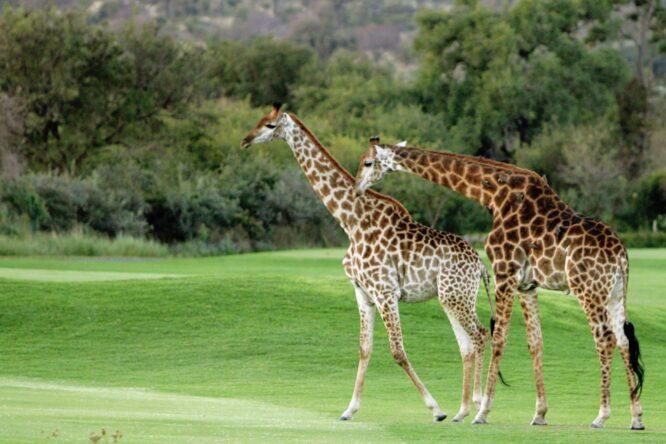 Jirafas en el Leopard Creek Country Club © European Tour